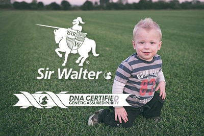 Sir Walter Buffalo - Low Allergenic Lawn