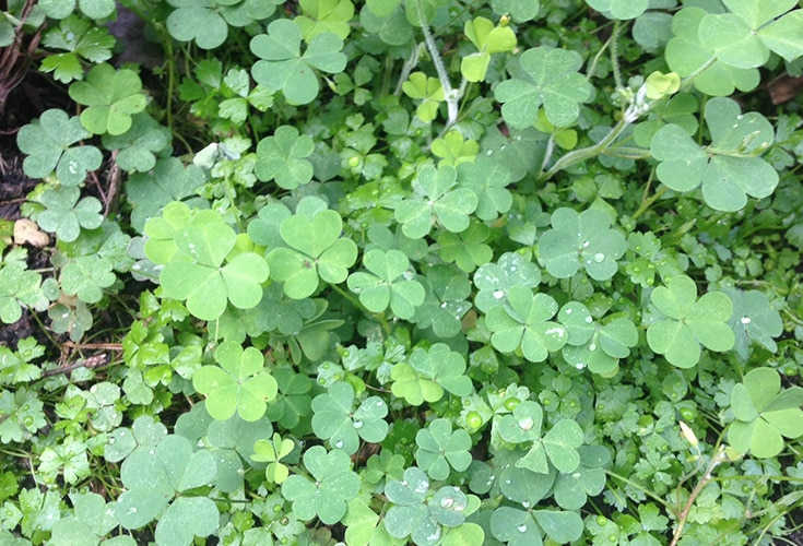 Lawn Weeds | Oxalis