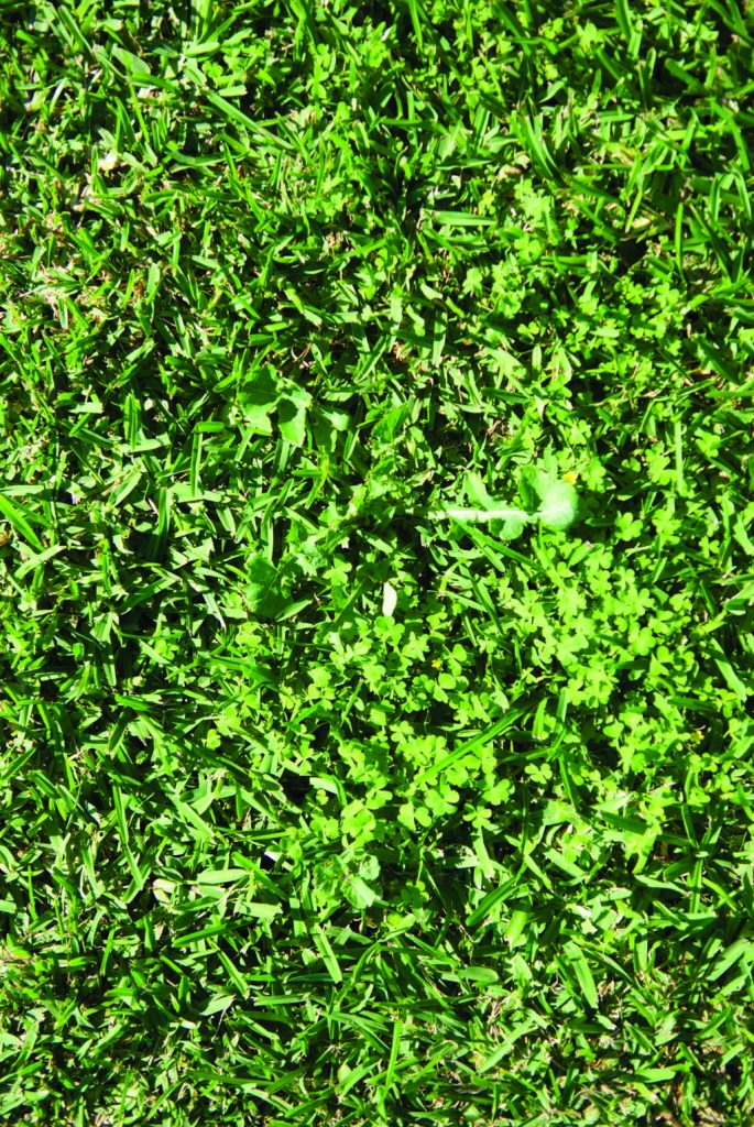 For weeds such as clover or couch, spot spraying with a selective herbicide is very effective