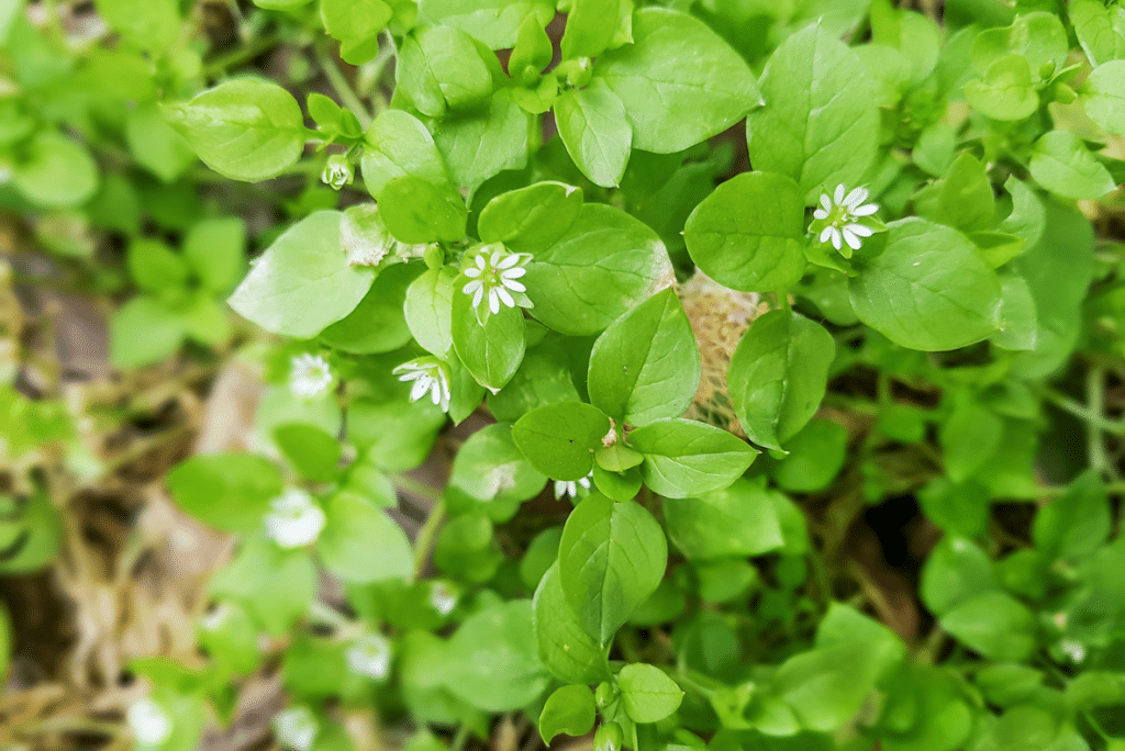 Chickweed has small shield shaped paired and finely haired leaves