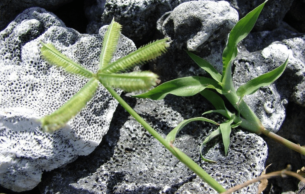 Crowsfoot grass has 5 spiked flowers, resembling a crow's foot