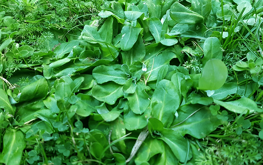 Cudweed is highly distinctive with its lettuce-like broad, shiny, green glossy leaves