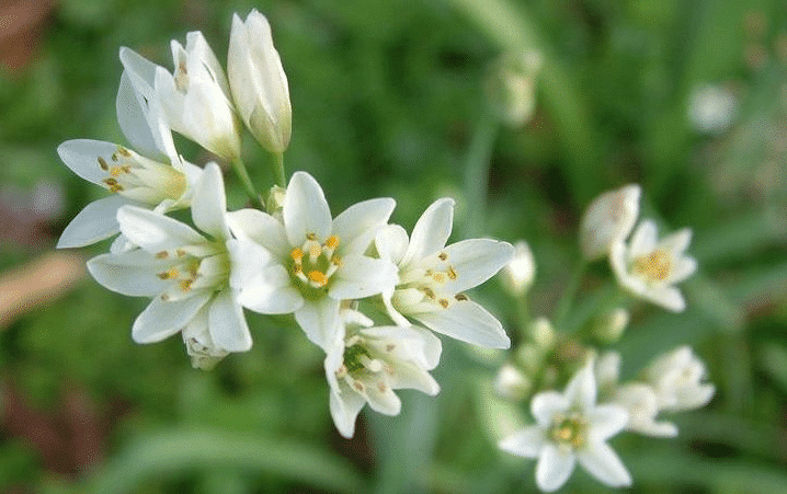 Onion weed has a soft strappy green leaves form on a white stem growing from a bulb
