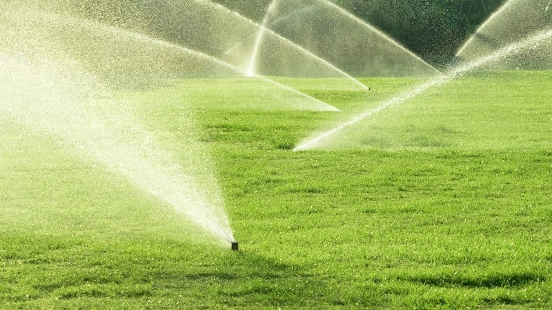 How Often Should I Water My Sir Walter Turf?